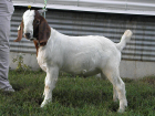 Fullblood Boer Buck