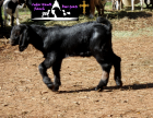 ABGA Pedigree commerical Boer Buckling