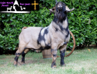 100% Black/Tan Dappled Proven 3 Year Old Buck - Registered
